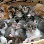 【にゃー】猫が持つ「トキソプラズマ・ゴンディ原虫」が統合失調症の発症に関係アリとの報告。